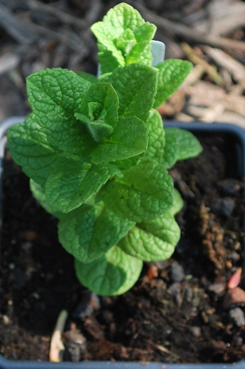 Munt 'Groene Munt' - Mentha Spicata
