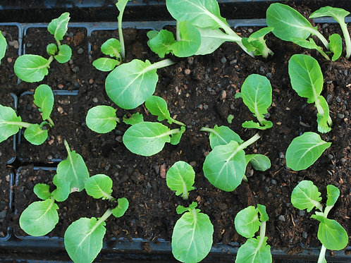 Sla 'Paksoi' - Brassica rapa chinensis