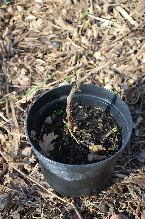 Witte (tros)bes 'Zitavia' - Ribes Rubrum (7)