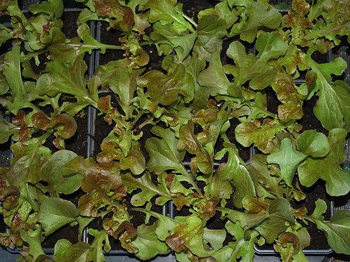 Sla 'Rode Eikenbladsla'- Lactuca sativa