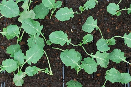 Kool 'Broccoli' - Brassica Oleracea Botritis Italicum
