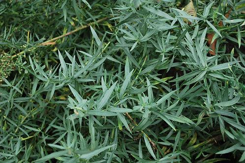 Dragon 'Franse Dragon' - Artemisia Dracunculus