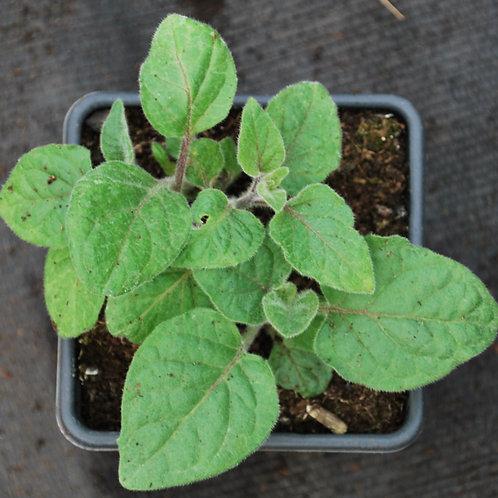 Ananaskers - Physalis peruviana