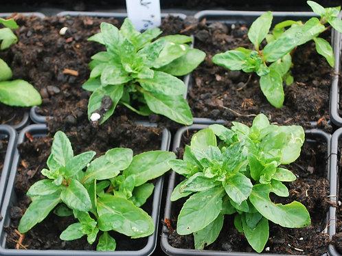 Munt 'Polei' grootbladig - Mentha Pulegium