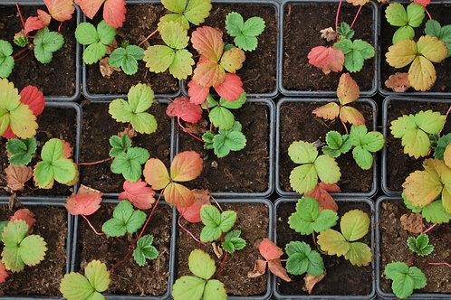 Aardbei 'Toscane' - Fragaria × ananassa 'Toscane'