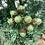 Thumbnail: Glittered Acorns Bunch