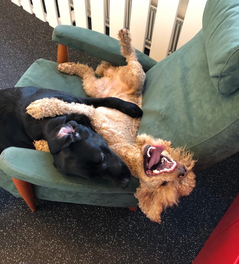 koiran ja pennun sosiaalistaminen koirapäiväkodissa