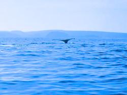 Dianas Whales tail.jpg