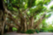banyan-tree_1438339676.jpg