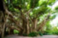 banyan-tree_1438339676.jpg