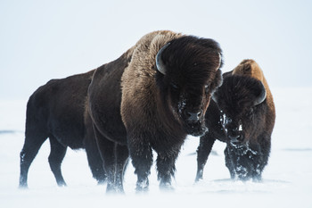Bull Bison hunts