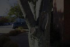 Tree at Cordage Office Park