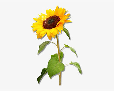27-272074_clipart-sunflower-png-download-real-sunflower-png.png.jpeg