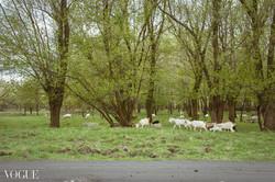 Goats stroll