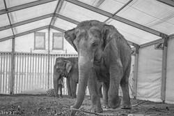 Man behind the elephant
