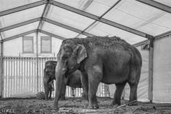 Man behind the elephant II