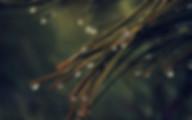 rain-pine-tree-dark-green.jpg