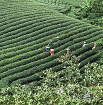 Organic Tea Farm1a.jpg