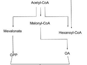 Η φαρμακευτική χρήση των κανναβινοειδών και η παραγωγή τους μέσω συνθετικής βιολογίας.