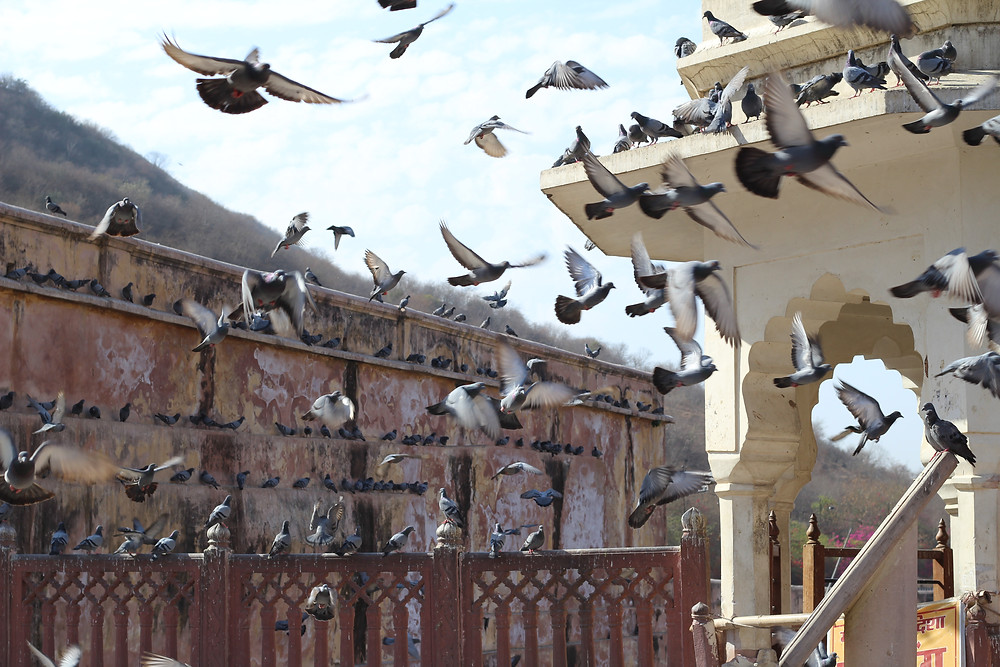 pigeons at the Amber Palace
