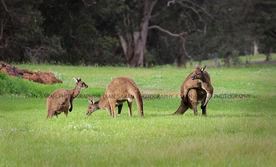 Kangaroos in Margaret River