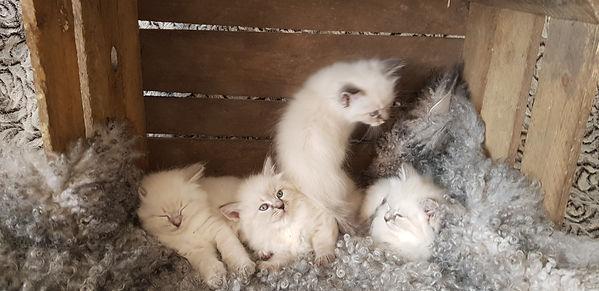 avel, kattuppfödning, kattungar, neva masquerade