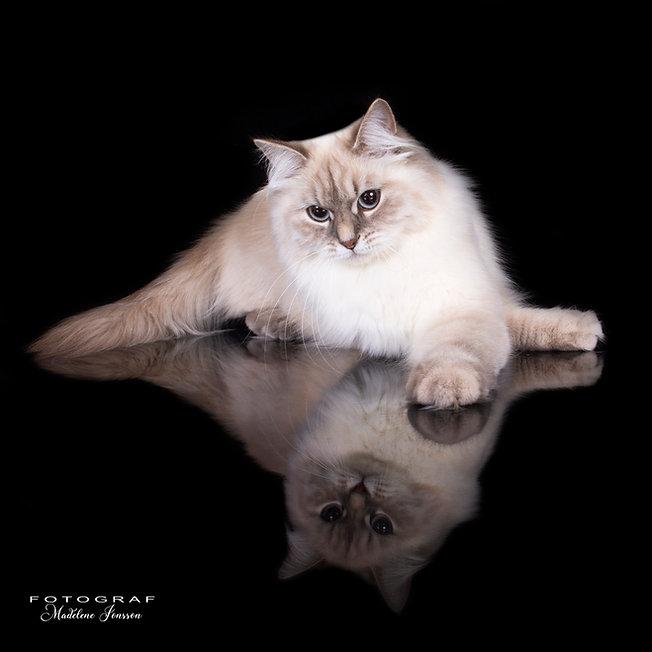 Neva Masquerade, corda dreams, catshow, kattuppfödare