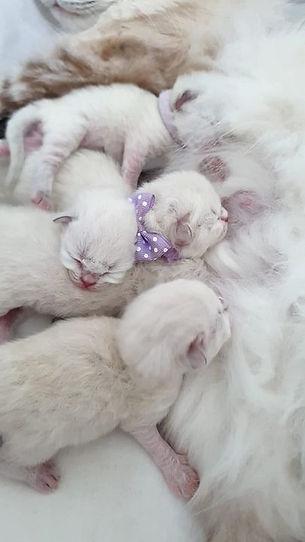 kattungar Neva Masquerade