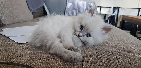 Neva Masquerade kattunge