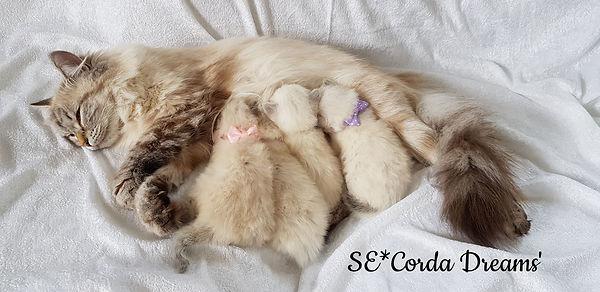 avel, kattungar, uppfödning