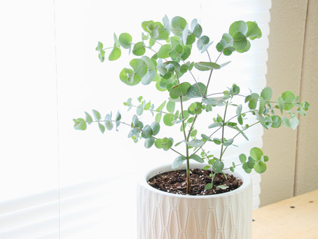How to Care for Eucalyptus Plants