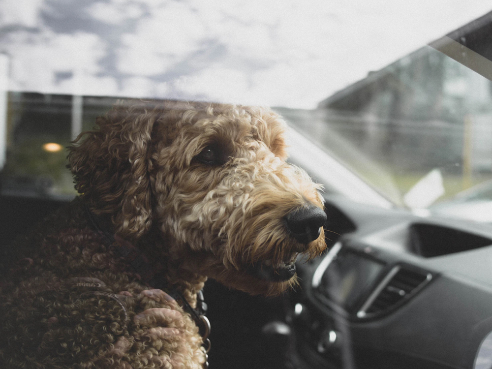 WagIt set to launch ride-booking service for DOGS with private hire operator Addison Lee