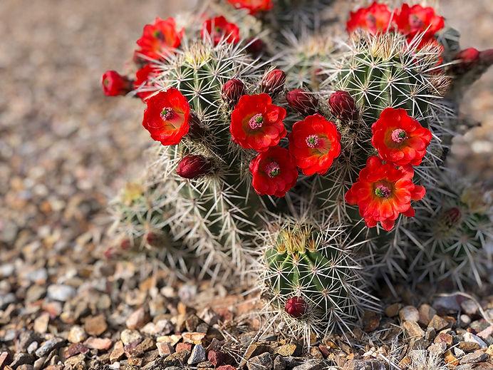 Arizona Cactus Background