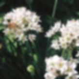 bees on alliums.jpg