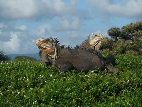 Explore Guadeloupe to find these guys