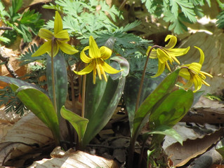 Erythronium Americanum ( Yellow Trout Lily)