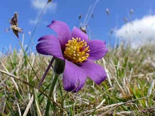 Pasque Flower (Anemone Patens)