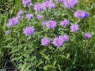 Wild Bergamot (Monarda Fistula)