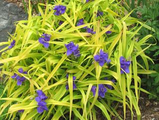 Spiderwort (Tradenscantia Occidentalis)