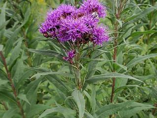 Prairie Ironweed (Vernonia Fasciculata)