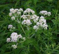 Common Boneset (Eupatorium Perfoliatum)