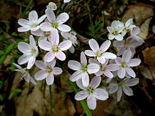 Claytonia Virginica ( Spring Beauty )