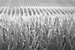 Corn_photo-cred-Adobestock_E_edited.jpg