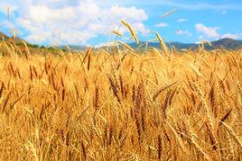 wheat-4130621_1920.jpg