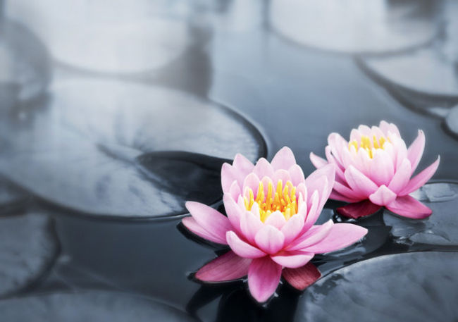 lotus blossum on water.jpg
