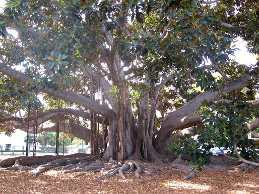 Banyan Tree Park - The Things You Learn in a Meditation