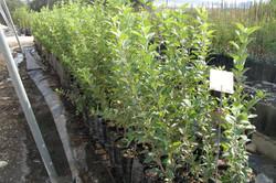 Apple rootstock