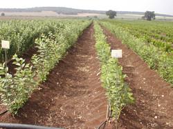 Cherry rootstock