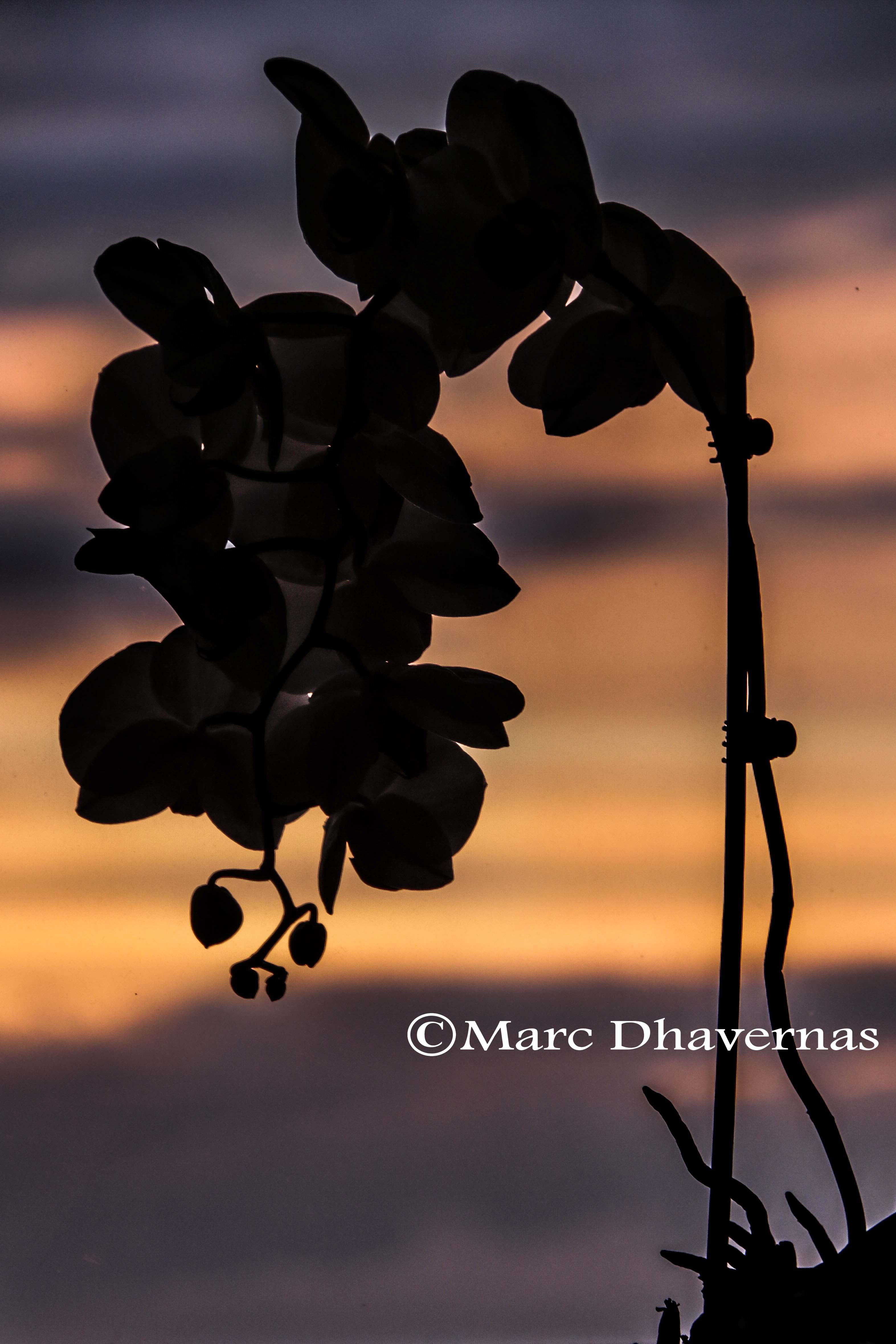 Orchid in a sunset
