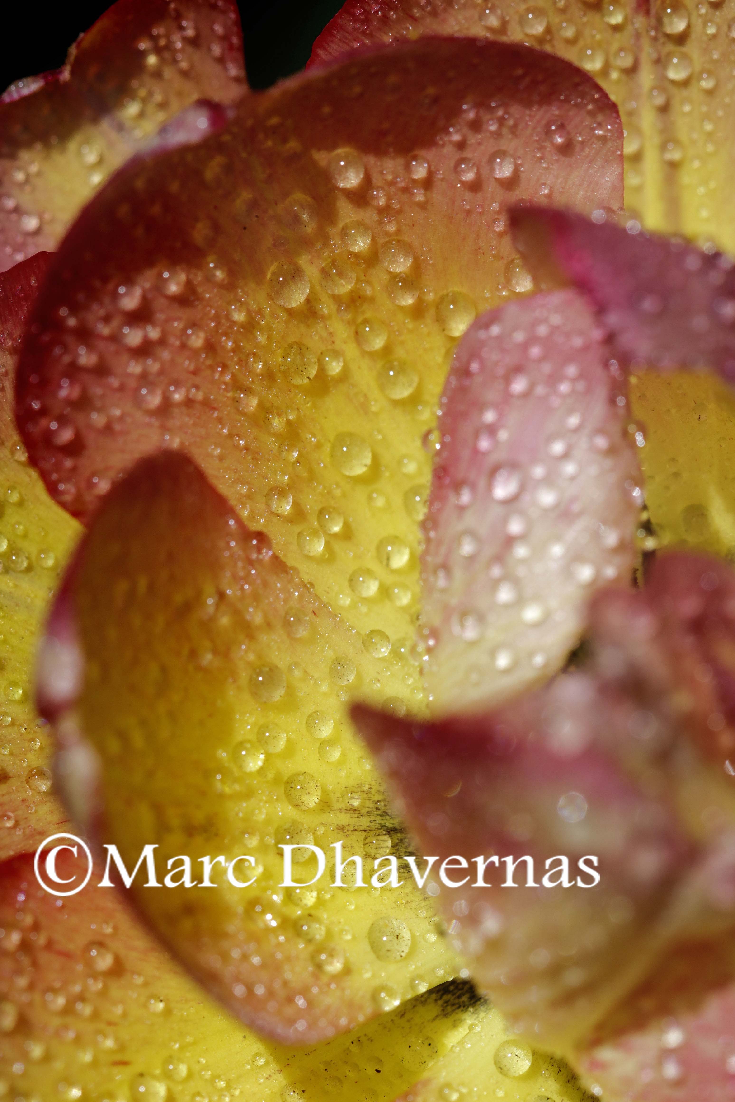 Water droplets on tulips